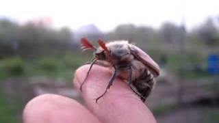 Насекомые, взлёт майского жука