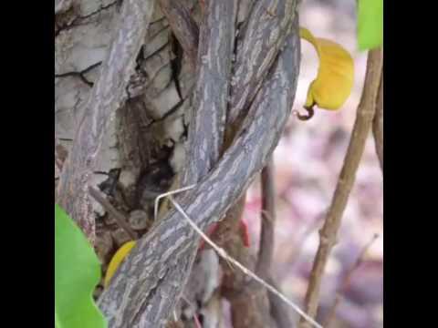 Varices ของริมฝีปากในภาพ