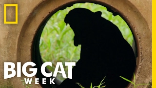 The Challenges Big Cats Face | Big Cat Week