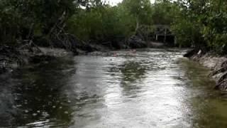 preview picture of video 'Cuba. Three Cuban crocodile in the river'