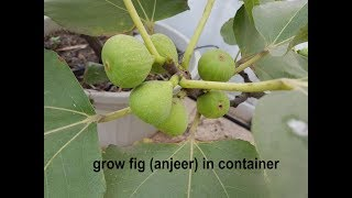 How To Grow & Care FIG (anjeer) Plant In Container On Your Terrace  ?