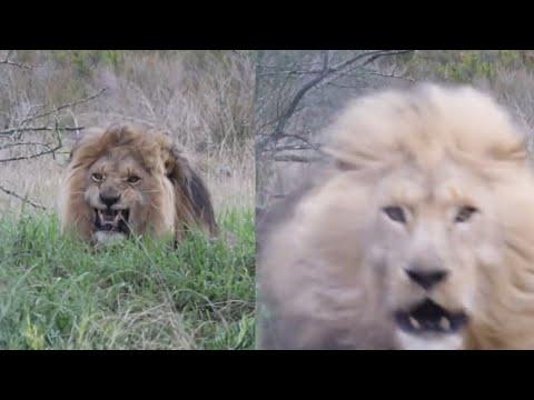 Her får løven nok av innpåslitne turister