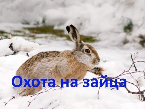 Охота на зайца. Тропление зайца. 30.10.2016г.
