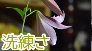 高尚に笹百合の花言葉:上品6月17日
