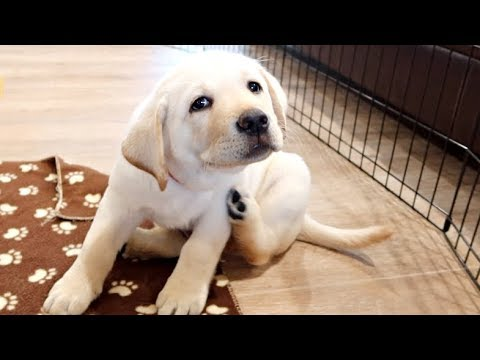 PLAYING WITH THE CUTEST LABRADOR PUPPIES EVER!!
