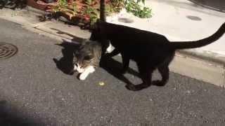 女帝黒猫、ファミリーの白サバ母猫に怒りの鉄拳制裁をする The Female Boss Cat Was Angry With Her Family Cat