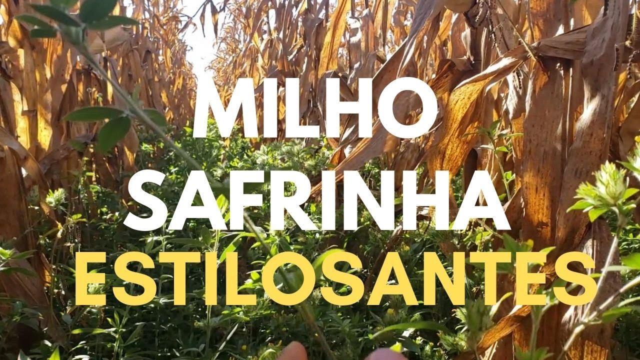 Consórcio Milho Safrinha com Estilosantes - Sementes Boi Gordo