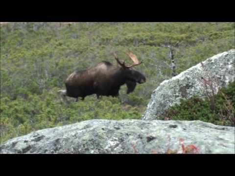 Newfoundlandský lov losa