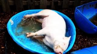 Esther the Wonder Pig - a loving tribute video