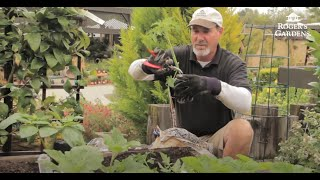 How to Plant and Grow Tomatoes with David Rizzo