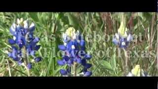 PlayMemories. Texas Bluebonnet.  State Flower of Texas.
