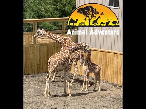 April & Sons - Giraffe Cam - Animal Adventure Park