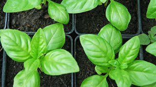 How to Grow Basil from Seeds - Easy step by step guide - Part 2