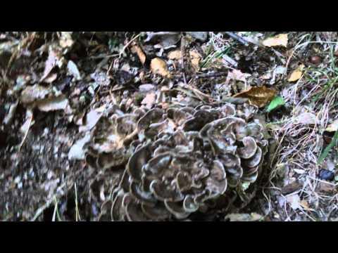 Cuocere a vapore fuori un fungo di ununghia