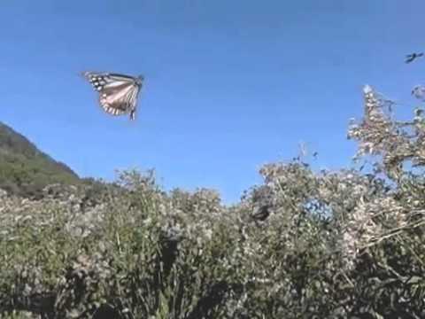 アサギマダラの飛翔300fps