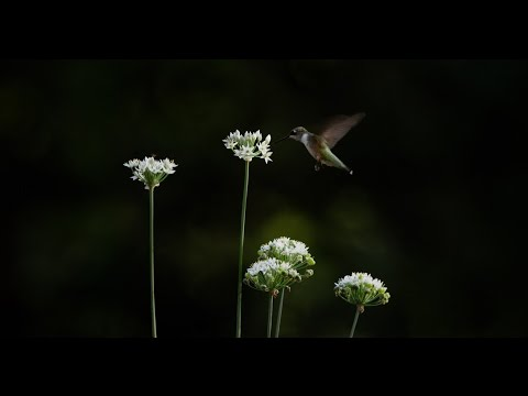 , title : 'Hummingbird Visiting Chive Flowers