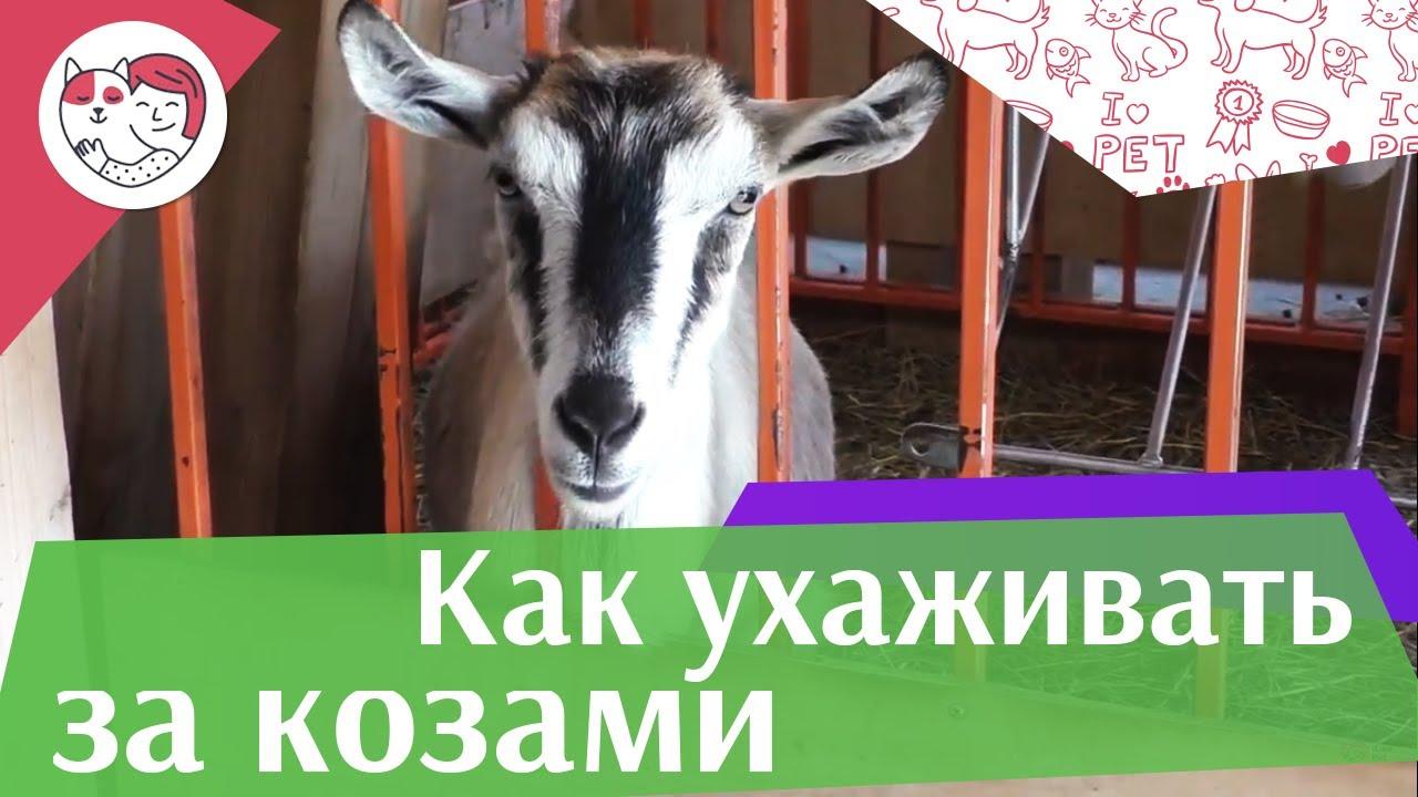 4 самых распространенных ошибки при уходе за козами на ilikepet