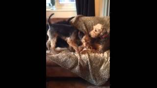 The difference between the Airedale & the Welsh terrier!!