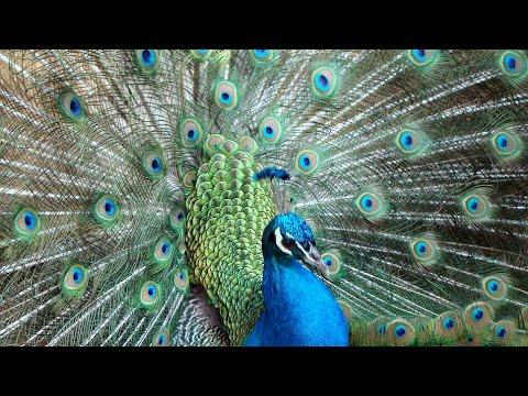 ketika burung merak pamer keindahan nya