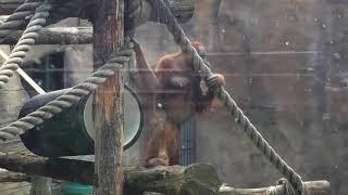 Обезьяна воображала) московский зоопарк