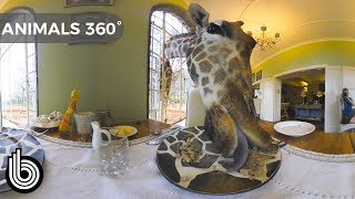 Dinner Date with a Giraffe   Animals In 360°