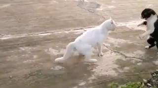 Драки котов