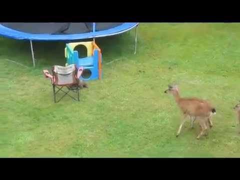 Otter Plays With Baby Deer.