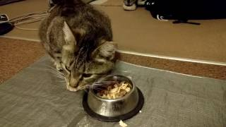 Impatient Holyfield the Stray Cat Takes a Step Back in His Eating Habits