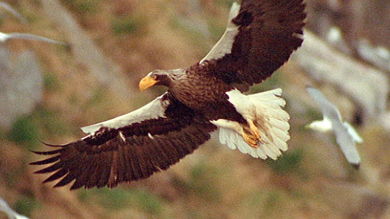 World's Largest Eagle Attacks Kittiwake Birds #01