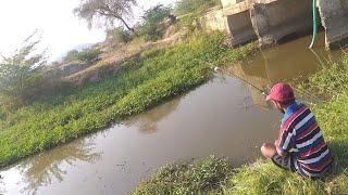 Fish hunting    Murrel fish and chitala fish catch