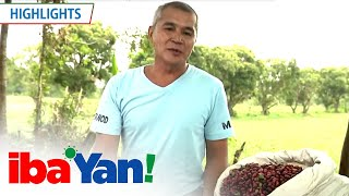 Batangas coffee farmers work to develop the coffee industry | Iba 'Yan