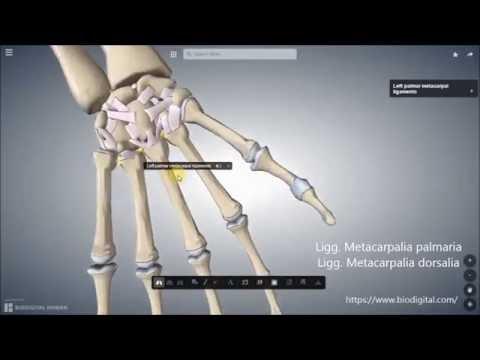 Anatomie des Handgelenks Bänder - Hip Osteosynthese