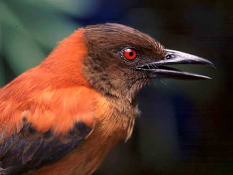 Discovery: First Scientifically Confirmed Poisonous Bird