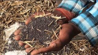 Mustard farm in Hisar, Haryana
