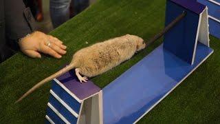 «Усатые Звезды XV» – выставка декоративных крыс и других домашних животных. Продолжение.