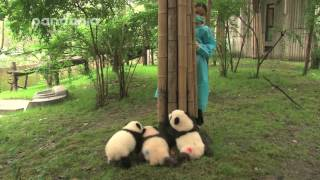 Cubs and nanny's hide and seek