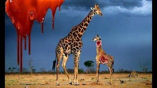 Самка Жирафа Убила Своего Детеныша, Но Не Отдала Львам