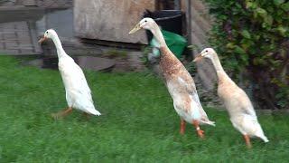 Ржачные утки