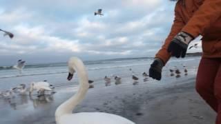 Как поймать лебедей