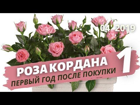 Роза Кордана — уход после покупки в домашних условиях. Пересадка | Апрель 2019