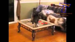 Собаки и кошки встречаются впервые   мега ржач