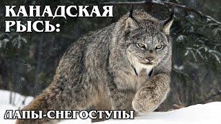 КАНАДСКАЯ РЫСЬ: Дикая кошка с огромными лапами | Интересные факты про рысь, кошек и животных