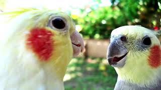 DON'T WORRY BE HAPPY Whistle Practice Cockatiel Bird Sings