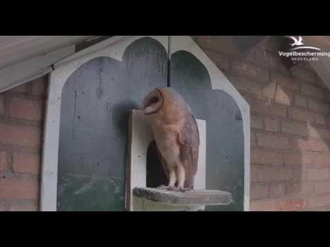 Barn Owls out in daylight - 20.07.17