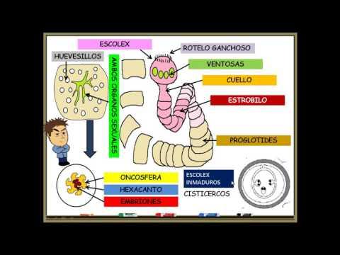 Hogyan néz ki a pinworm?