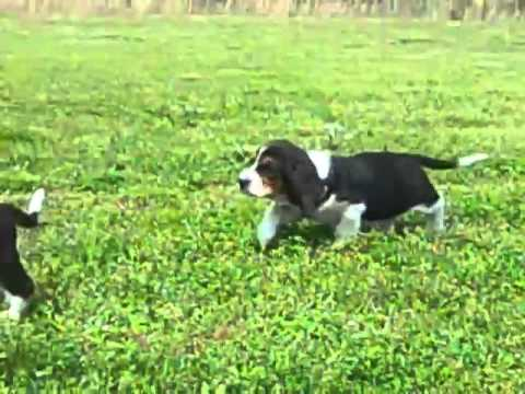 Tri-Color Basset Hound Male Puppy