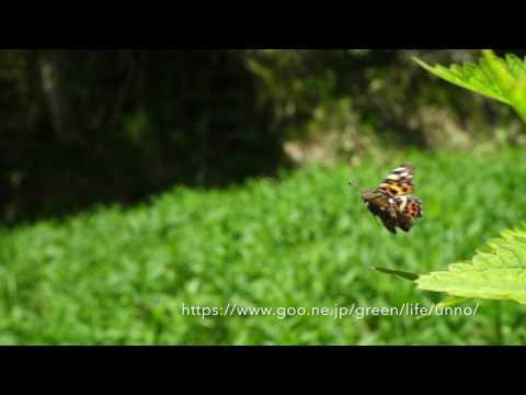 アカマダラ春型の飛翔 Araschnia levana