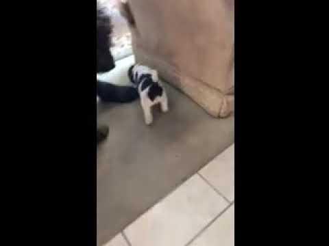 Kaelan - Labradoodle puppy for sale