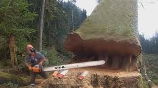 Amazing Skill Felling Cutting Big Tree With Chainsaw You Should Look To See How Big Trees Are Felled
