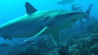 Les requins d'Avatoru - Rangiroa